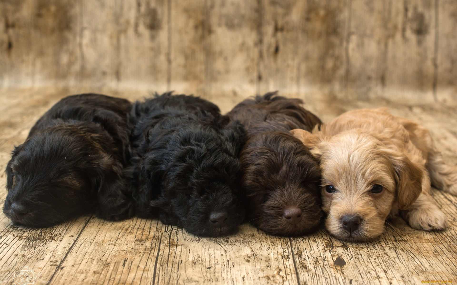 Картинки с щенки спаниеля